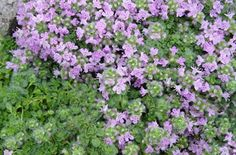 "Thymus Elfin Thyme Bloom Time : Summer  Flower color : Pink  Foliage : Semi-Evergreen (Gray) Growth Rate : Slow 2""-4"" a year  Habit : Spreading  Plant Height : 1/8"" - 1/4"" (Tight to ground with small/no flower )  Sun Exposure : Part Sun,Sun  Foot Traffic : Heavy  Soil : Clay ,Sandy ,Gravel ,Normal  Spread : 18""  Zone: 4,5,6,7,8  This Plant Is Hardy Above: -30  www.stepables.com"