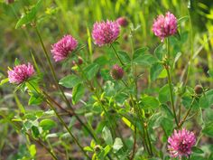 Medium Red Clover - low-growing, nitrogen-fixing cover crop, good companion plant for most other plants, and beneficial insect attractor. Underplanting tomatoes with clover as living mulch improves tomato yield! Clover Plant, Clover Flower, Growing Tomatoes In Containers, Growing Vegetables, Grow Tomatoes, Dried Tomatoes, Red Clover Benefits, Bamboo Seeds, Plants