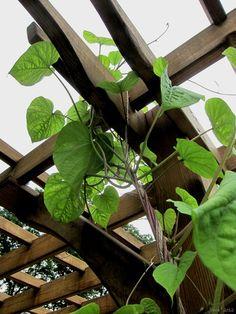 moonflower vines twining atop a pergola  http://www.joenesgarden.com/#