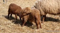 Coburg Fox Sheep lambs