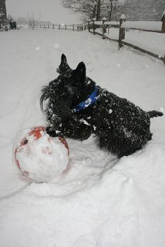 Having a Ball in the Snow! Scottish Terrier Puppy, Terrier Dogs, Scottie Dogs, Great Love, Westies, Puppy Love, Louvre, Snow, Puppies