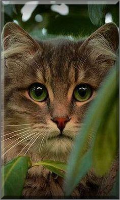 I WATCH YOU OMG this beautiful green eyes.... #cat cats kitty kitten cute amazing beautiful tree pet pets animal animals #kittencare