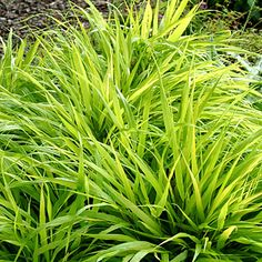Japanese forest grass: Gracefully arching leaves give this perennial grass the look of a cooling fountain.