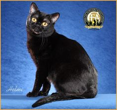 4th BEST CAT GC, BW, NW THE DARKSIDE'S CAPTAIN REX Bombay