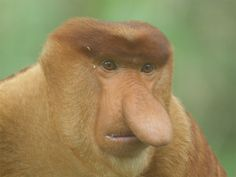 The nose of a male proboscis monkey can exceed 3.9 inches (10 centimeters), and is thought to woo females.