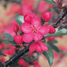 Royal Raindrops Crabapple  One of the showiest players in spring landscapes, Royal Raindrops produces fragrant, magenta-pink flowers. After the flower show fades, this upright, spreading tree displays lovely dark purple lobed leaves. In later summer, tiny bright red fruits appear. Then in fall, the foliage changes to a mix of bronze, orange, and purple. The red berries persist through winter, offering snacks for the overwintering birds in your yard.