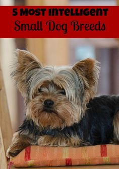 Looking for the smartest of the little pooches? Check out our picks for the 5 most intelligent small breed dogs!