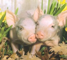 "A Piggies Love - Oh How Cute - Pigs are the Cutest Animal ""He"" Ever Made !!! - AND God Makes NO Junk !!!  Onik, Onik, Onik !!!"