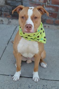 SAFE 5-14-2015 --- Brooklyn Center DOUG – A1035119 MALE, BROWN / WHITE, AM PIT BULL TER MIX, 1 yr, 6 mos STRAY – STRAY WAIT, NO HOLD Reason STRAY Intake condition EXAM REQ Intake Date 05/03/2015