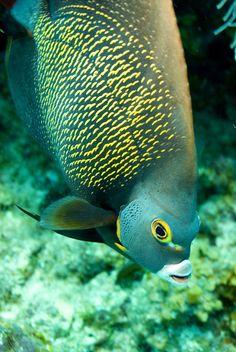 French Angefish - ©Stephen Bateman www.flickr.com/photos/stephenbatemanphotography/4627753006/