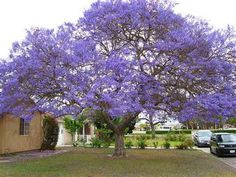 JACARANDA Tree - Live Starter Plant! These are cute, thriving trees, measuring around 4 to 6 inches tall and growing fast.  Buy more and get