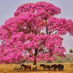 A florada do Ipê Roxo-rosado   Conheça Minas