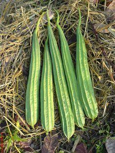 Angled Luffa Sponge ~10 Top Quality Seeds EXTRA RARE Extra Long Squash