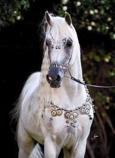 But I will always love the Arabian horse, my love of the horse breeds ! Beautiful Arabian Horses, Most Beautiful Horses, Majestic Horse, All The Pretty Horses, Animals Beautiful, Cute Animals, White Arabian Horse, Egyptian Arabian Horses, Arabian Art