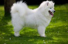 siberian samoyed dogs full grown puppies