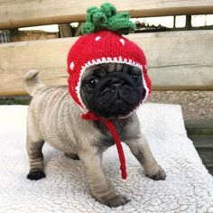 Baby Doris the perfect model already and she's only 6 weeks old she's a true Bubblebecca & to win my monthly giveaway Baby Animals, Cute Animals, Pug Puppies, Terrier Puppies, Boston Terrier, Baby Pugs, Cute Pugs, Funny Pugs, Adorable Puppies