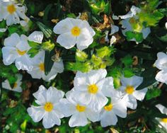Cistus Labdanum, Cistus Ladanifer...the source of fragrant amber resin.  Avoid the Cistus with dark spots on its petals as it is the wrong species and the scent is not strong.