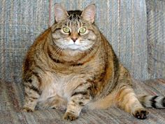 Getting an obese cat to lose weight needs to be done gradually and carefully. Description from kucingohhkucing.blogspot.com. I searched for this on bing.com/images