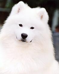 Samoyed. Looks just like my Hilde!!!