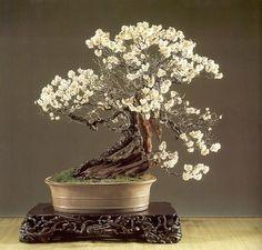 Japanese apricot bonsai