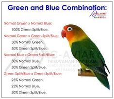 Akhilchandrika : Examples of Green and Blue Couplings Combination: Parakeet Colors, Parakeet Food, Green Parakeet, Love Birds Pet, African Lovebirds, Bird Breeds, Bird Sketch, Bird Aviary, Couples