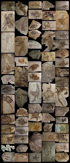 Collage de imágenes de fósiles encontrados en el noreste de China que incluyen todo tipo de especies (Robert Clark, 2014)