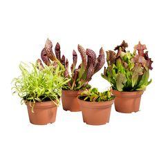GRÖNSKAN kjøttetende plante Potteplante IKEA