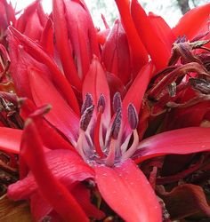 Gymea Lily - The Flowering Soul