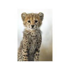 Cheetah Cub Photographic Wall Art Print (46 CAD) ❤ liked on Polyvore