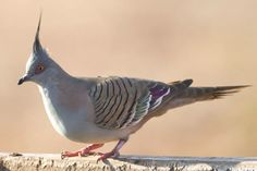 This photo gallery features of some of the most beautiful pigeons and doves worldwide and includes range information and other details. Pigeon Pictures, Bird Pictures, World's Most Beautiful, Beautiful Birds, Crested Pigeon, Cute Pigeon, Cute Animal Quotes, Pet Boarding, Dove Bird