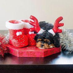 Day 6 of #Christmas  #matildabeardog #puppy #sleepingpuppy #christmasdog photo by @the_newborn_photographer  #dogsofinstagram by beardogtails