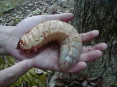 And this is why Caterpillars are soooo friggen scary!!!!