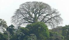 Samaúma - Ceiba pentandra (L.) Gaertn - The largest tree in the Amazon ~ Did you really know?