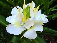 White Ginger - My Fav flower ever.... collected on the way to school many mornings to wear in my hair for the day.... smells ..... so good