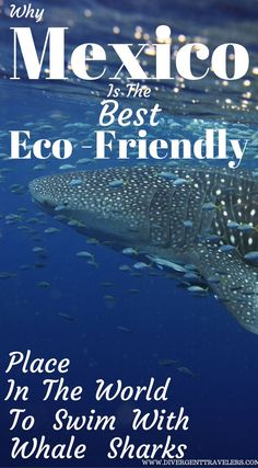 Why Mexico is the best Eco-friendly place in the world to swim with Whale Sharks. Swimming with Whale Sharks in Cancun Click to read the full Adventure Travel Blog Post By the Divergent Travelers at http://www.divergenttravelers.com/whale-sharks-cancun-me