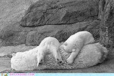 Nap Time for Polar Bears