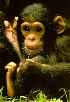 Impressive Chimpanzees are hunting red colobus monkeys to the point of a local extinction, with a population dropping 89 between 1975 and 2007. Check more at http://oddstuffmagazine.com/amazing-animal-facts-of-the-week-december-20-2014.html