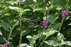 colibrì azzurro