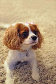 Oh my word.... i soooo want a cavalier king charles spaniel!! (but do I really need another animal?)