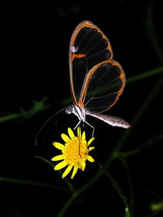 """Экзотические бабочки Африки, Южной Америки, Азии и Австралии. - """"Южная и Центральная Америка, Чёрная Африка и Азия"""""""