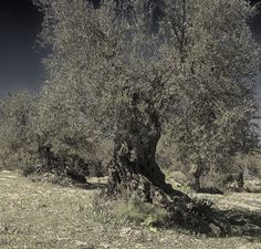 An old olive tree. Extremadura, Spain. From the poet Santos Dominguez's blog.