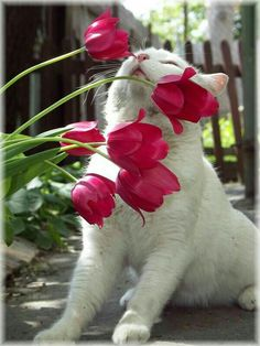 Red Tulips, White Kitty.