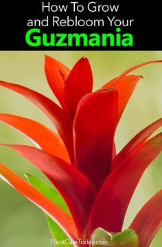 "Reblooming bromeliads the ""new"" blooms will come from the pups on the Mother plant! Learn how to rebloom your Guzmania and care for the pups."