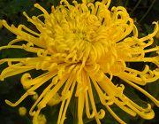 Záhradníctvo ČAKO | chryzantémy, chryzantéma, chryzantémy planty, chryzantéma planta, chryzantémy štepy, odrezky chryzantém, chryzantémy na rez, snowdon, creamist, bernolákovo chryzantémy, čaputa chryzantémy, priesady, multiflora, regionálna inzercia, veľkoodber, dom a záhrada, chryzantémy inzercia, rastliny, chryzantémy predaj, predaj rastlín, kvety, chryzantémové sadenice, chryzantémové odrezky, František Čaputa, zakorenené sadenice chryzantém, chryzantémové štepy, črepnikové chryzantémy…