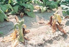 wilt: drooping of leaves and stems from lack of water (inadequate water supply or excessive transpiration); vascular disease that interrupts normal water uptake (wilted tobacco)
