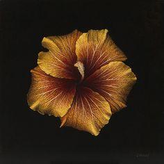 Hibiscus by Larissa Morais