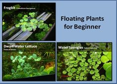 Floating Plants for Beginner, Frogbit, Dwarf Water Lettuce, Water Spangle. Aquaponics Diy, Aquaponics System, Hydroponics, Live Aquarium, Planted Aquarium, Aquarium Ideas, Aquarium Sharks, Aquarium Kit, Betta Tank