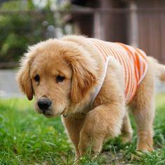 Fuzzy *  #ilovegolden_retrievers #pets_perfection #my_loving_pet #dogs_of_instagram #golden_retrieverlovers #pupdoggydog #meowvswoof #bestwoof #dog_features #dogsofinstagram #ilovemydog #puppytales #instagramdogs #dogstagram #nature_cuties #FurrendsUpClose  #goldens_ofinstagram #igclub_dogs #gloriousgoldens #instadog #goldenretriever #puppytrip #retrieversgram  #welovegoldens #Excellent_Dogs #amazing_picturez_animals #FUNPETLOVECLUB #cutepetclub #bestfriends_dogs #Excellent_Puppies