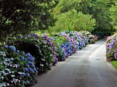 Hydrangeas (photo by Grete Howard)