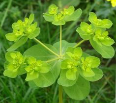 Euphorbia peplus is a perennial, herbaceous plant growing from 5 to with small, lanceolate, opposite, green leaves and small flowers in cup-shaped inflorescences. Small Garden, Small Flowers, Euphorbia, Herbs, Plants, Green Leaves, Medicinal Plants, Back Gardens, Perennials